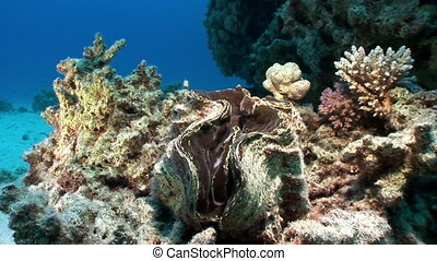 Multilayered Tridacna Scuamose giant clam with heavy mantle...