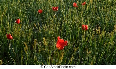 Multiple colored wild tulips in a green field