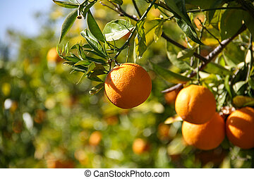Multiple orange fruits on a tree in the sunlight
