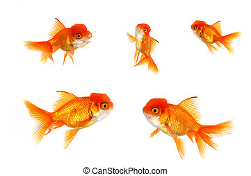 Multiple Orange Goldfish - Multiple Goldfish on White...
