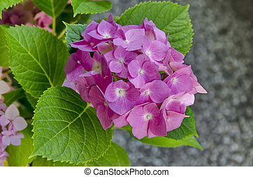 Multiple pink hydrangea plant or hortensia flower with leaves in the garden