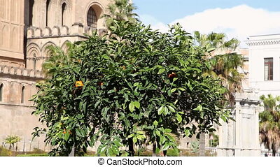 Multiple shots of tangerine tree - Sequence of orange tree...
