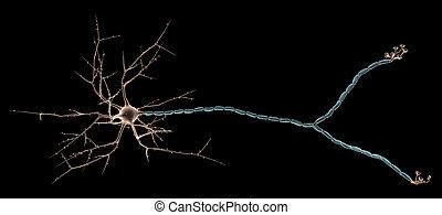 Multipolar Neuron - 3D rendering of Multipolar Neuron in the...