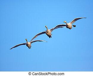 multitud, de, cisnes, en, cielo azul, plano de fondo