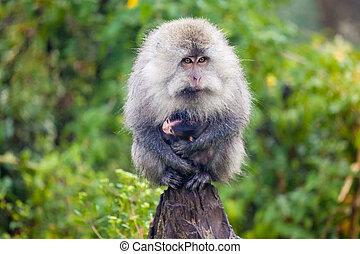 Mum monkey carrying baby monkey