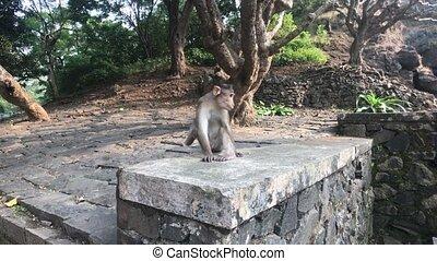 Mumbai, India - monkey does his own thing part 2