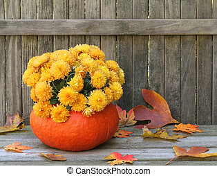 Mums in a Gourd - Mums planted in a gourd against a...