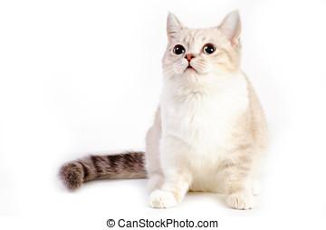 Photos et images de munchkin 229 photographies et images - Prix chat munchkin ...