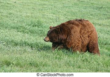 mundo, oso pardo, registro, oso, obeso