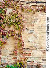 mur, automne, vigne, sauvage