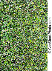 mur, feuilles, arrière-plan vert