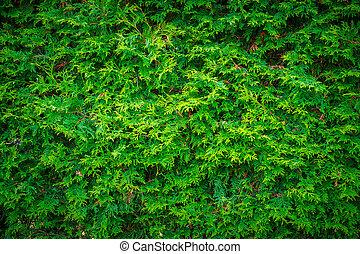 mur, feuilles, cèdre, haie, fond