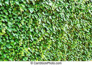 mur, helix), (hedera, leaves., lierre