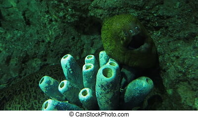 Muraena. Moray eel popped out of his hiding place among the rocks.