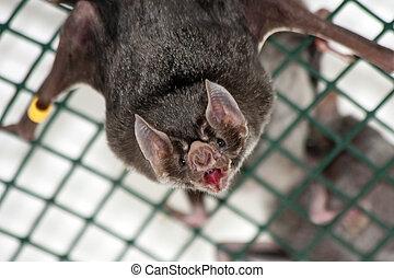 murciélago, común, vampiro