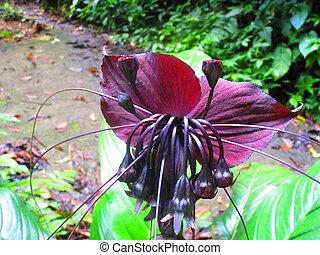 murciélago, flores, negro, tacca, chantrieri, género