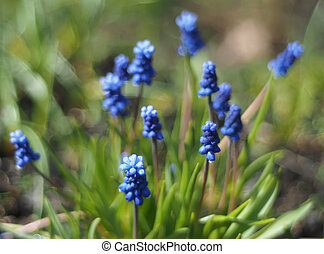 murine hyacinth flowers