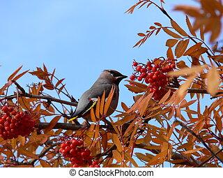 birds on a Rowan branch