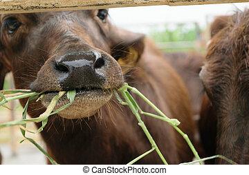 Murrah buffalo in farm