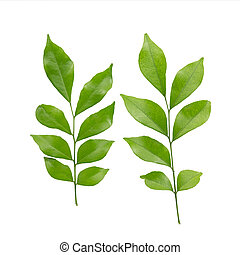 murraya, ou, jasmin, orange, paniculata, fond, isolé, leaves...