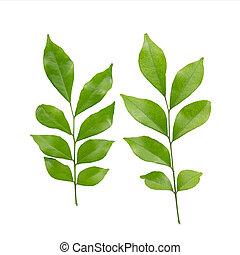 murraya paniculata or orange jasmine leaves. isolated on white background