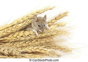 mus, hvede