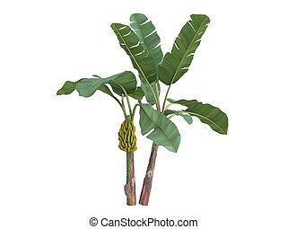 musa, acuminata, banan, albo