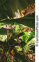 Close-up on a Bunch of Plantains in Musa Tree ( Musa Acuminata) and Beautiful Sunlight