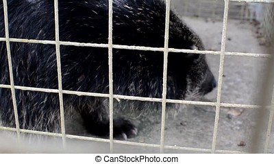 musang civet (Paradoxurus hermaphroditus), in cage hissing -...
