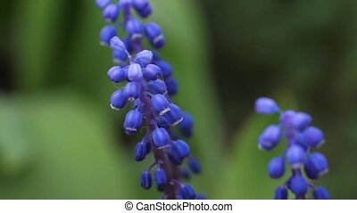 Muscari armeniacum Blue Spike is fluttering in the wind -...