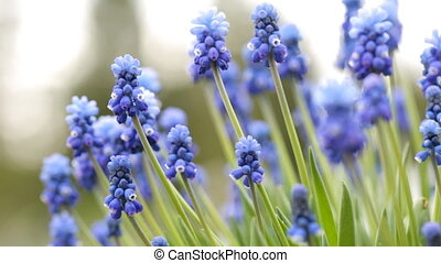 Muscari armeniacum. Grape hyacinths in the garden