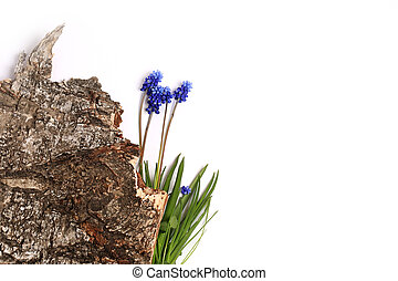 muscari bark of a tree isolated on white background Spring composition