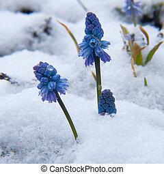 muscari, neige, sous