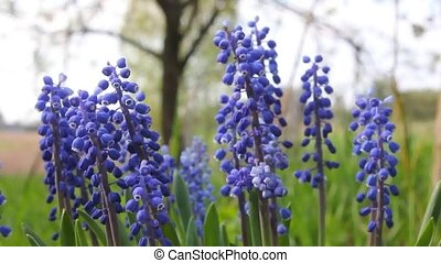 Muscari or mouse hyacinth - Beautiful early spring flowers....