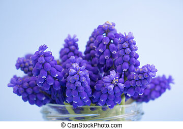 Muscari's first spring flowers in a glass vase close-up. Blue flowers on a blue background. Primroses. Spring concept, postcard. Copy space