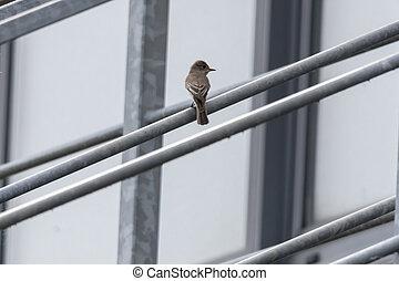 musciapa striata flycatcher bird