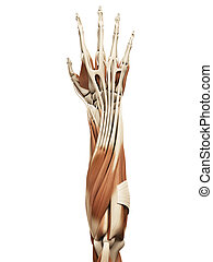 the arm muscles - muscle anatomy - the arm muscles