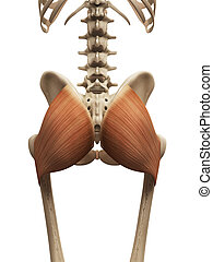 the gluteus maximus - muscle anatomy - the gluteus maximus