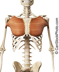 the pectoralis major - muscle anatomy - the pectoralis major...