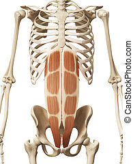 the rectus abdominis - muscle anatomy - the rectus abdominis