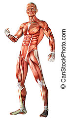 muscle, carte, 3d, anatomie, mâle, illustration