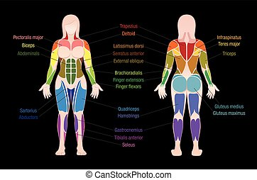 Muscle Chart Female Body Colored Muscles Black