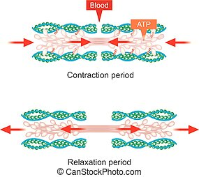 Muscle contraction. - The muscle contraction as a result of ...