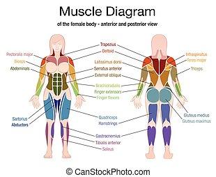 Muscle Diagram Female Body Names