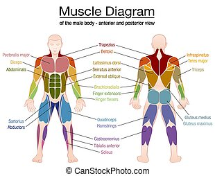 Muscle Diagram Male Body Names - Muscle diagram - most...