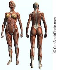 Muscle Female - 3D Render