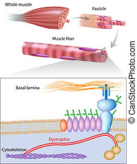 Muscle fiber with dystrophin location, dystrophin is commonly mutated in muscular dystrophy diseases, eps10