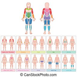 Muscle Groups Female Body Colored Chart