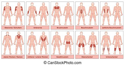 Muscle Groups German Names Chart - Muscle chart with german...