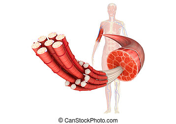 Muscle is a soft tissue found in most animals. Muscle cells contain protein filaments of actin and myosin that slide past one another, producing a contraction that changes both the length and the shape of the cell. Muscles function to produce force and motion.